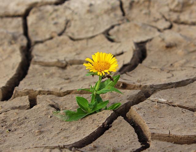 乾燥した大地に咲くタンポポ