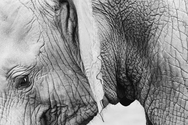 シワシワな皮膚の象