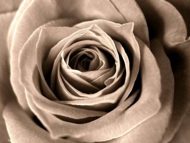 セピア色のバラ