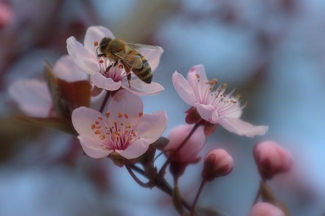 桜の蜜を吸うミツバチ