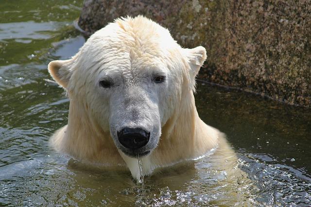 肩まで水に入っているシロクマ
