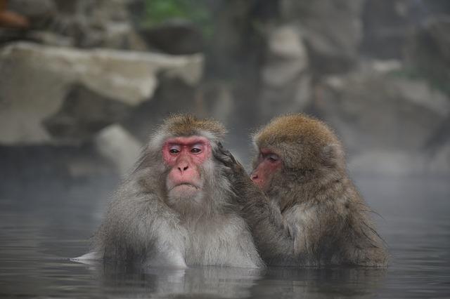 温泉に入り毛づくろいをする二匹の猿