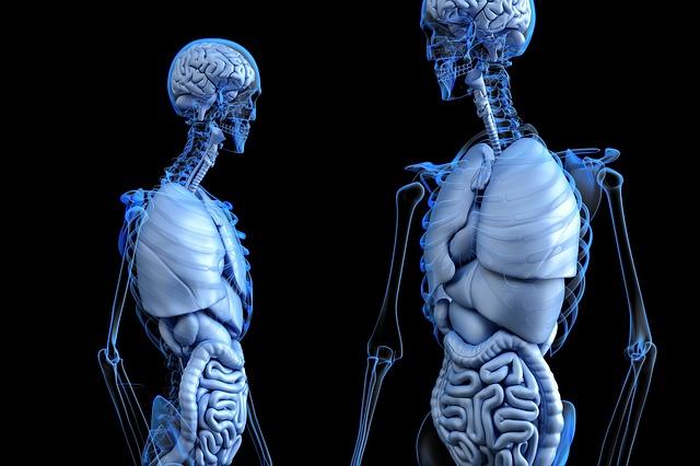 骨格や内臓の二体のデジタル画像