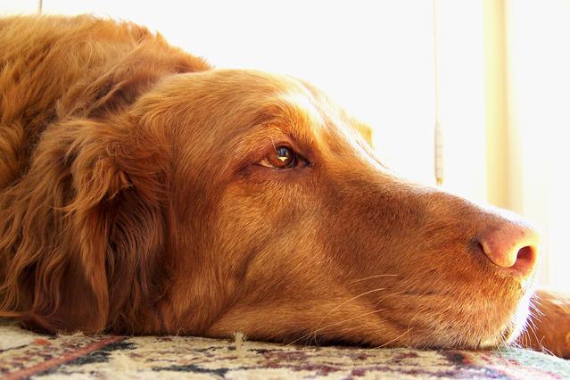 リラックスした大型犬