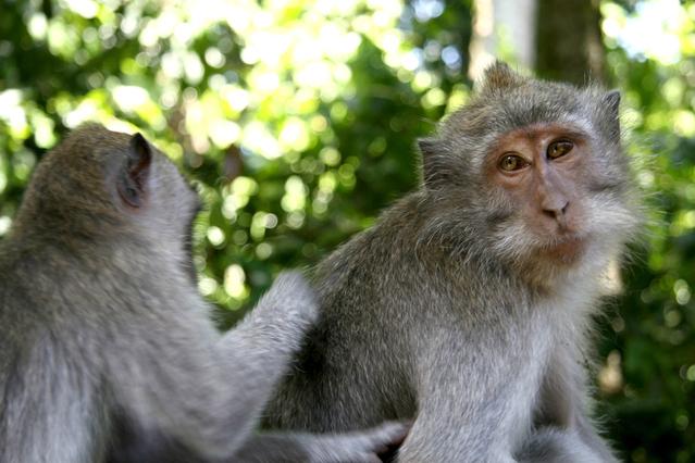 身だしなみのために毛づくろいをしている二匹の猿