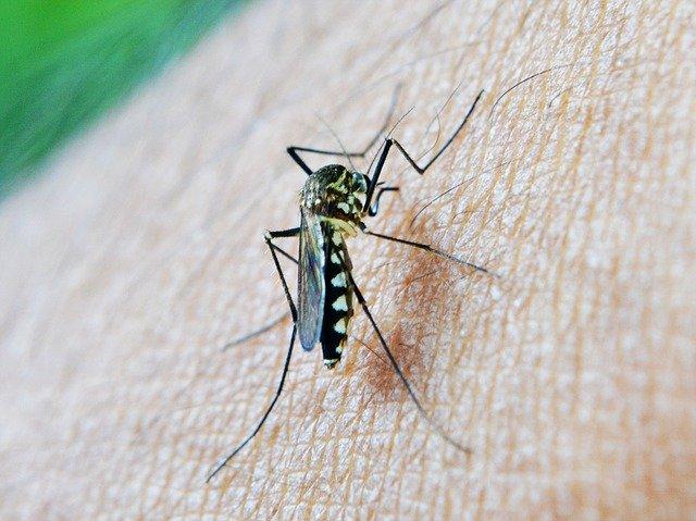 マラリア感染の蚊